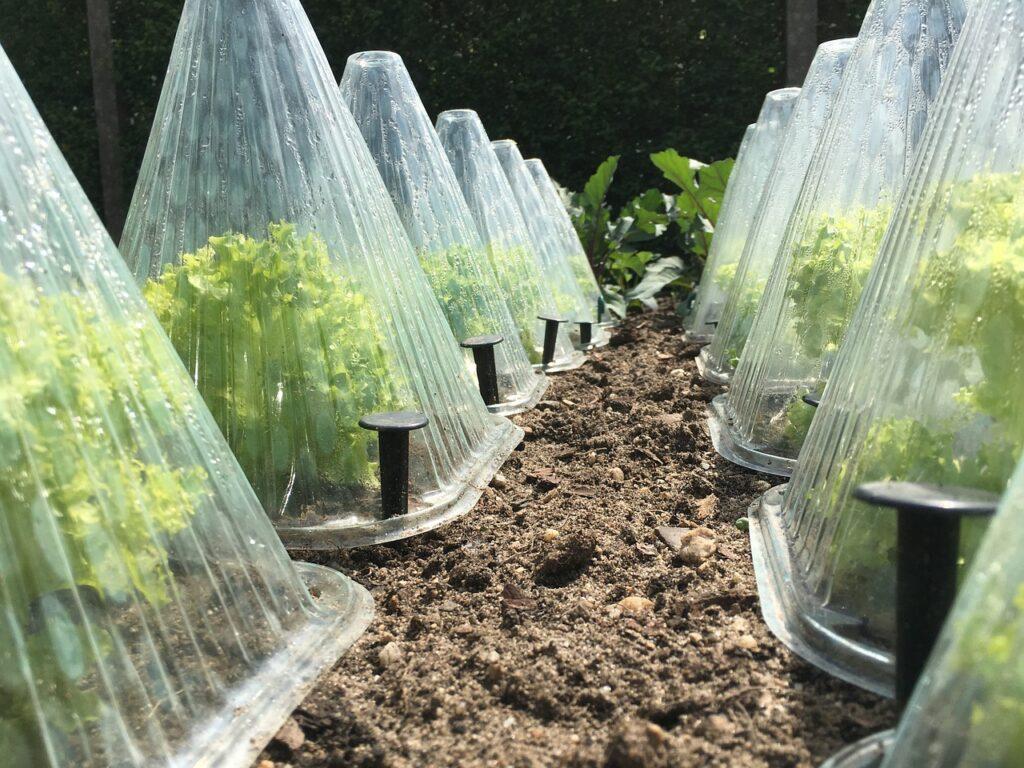 Eden izmed načinov gojenja endivije, ki zrcali zmožnost rastlinjakov